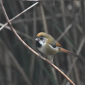 趣味の野鳥観察(キバネダルマエナガ)2