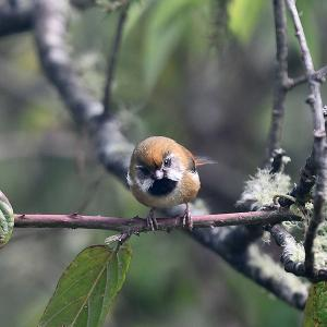 趣味の野鳥観察(キバネダルマエナガ)4