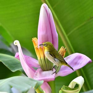 趣味の野鳥観察(ピンクの花にメジロ)4