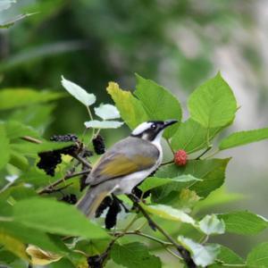 趣味の野鳥観察(白頭 - シロガシラ)1