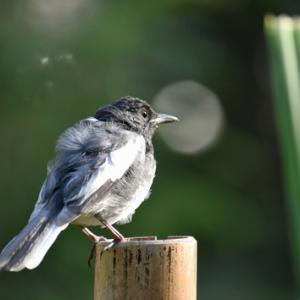 趣味の野鳥観察(四季鳥・シキチョウ)♂ ♀