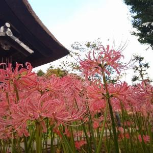 新羽の西方寺で彼岸花を見て来ました!見頃の終了はもう間もなくの見込み