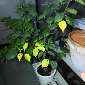 【うめ栽培記録】200922 黄葉し落葉中。秋を感じます。