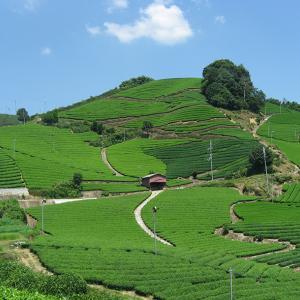 一度は観たい和束のお茶畑|お茶の京都DMO