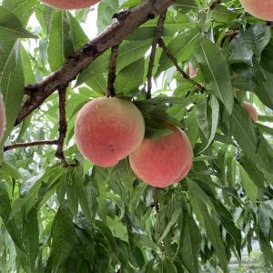 【山梨 中込農園】じゃらんで星4.5の大人気農園へ桃狩りに行ってきた話