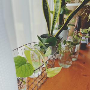 【コロナ禍】グリーンのある暮らし。観葉植物を育てて癒されよう♩【シンプルライフ】