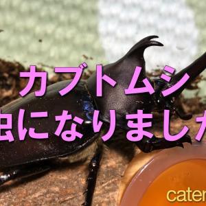 カブトムシの飼育|羽化しました!娘と一緒に素人の昆虫飼育記