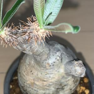 グラキリスの発根管理日記(水耕栽培からの用土→発根)#5