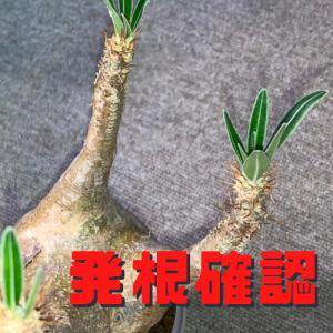 グラキリスの発根管理再検証(水挿し/水耕栽培発根確認→植え替え)#2