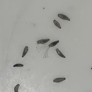 オトンナ・クラビフォリア実生記録#1(種まき)