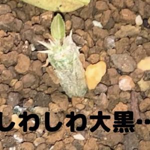 パキポディウム・デンシカウレ実生記録#3(ロスト目前…)