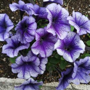 〓紫のペチュニア〓