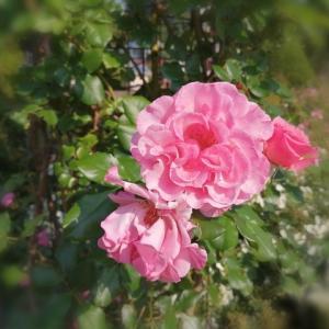 ♡薔薇 ミラト♡