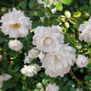 薔薇 シーフォーム♡メロン