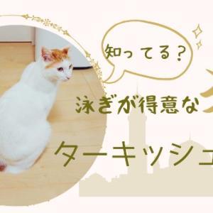 【知ってる?】泳ぎが得意な猫!ターキッシュバン