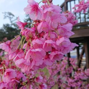 西伊豆で(^^)/桜.桜..桜が楽しめますよ(^^♪