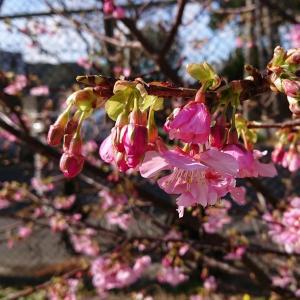 2/10~人気!!桜イベントが開催されます(^^)/