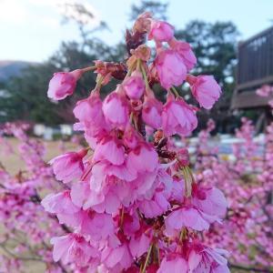 西伊豆の(早咲き桜)土肥桜!!もうすぐ見頃です(^^)/一足お先の春満喫♪