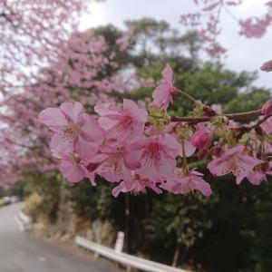 今年の、河津桜の開花予想情報(^^)/