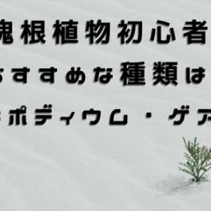 【CODEX】 塊根植物初心者に おすすめな種類は、 パキポディウム・ゲアイー