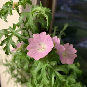 ハーブの花が咲きました!