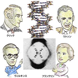 4種類の型紙モデルを組み合わせ DNAの二重らせん構造を解明