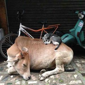 インドの牛が神様というのは嘘!?