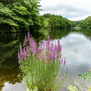 鯉ヶ窪湿原に咲く夏の花々