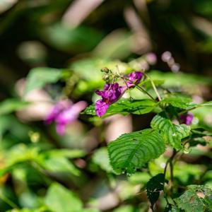 道後山と岩樋山の花々・二