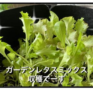 ベランダ菜園⑩美味しい収穫