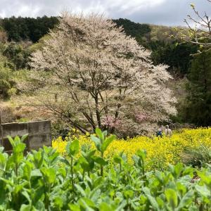 春花③  花散歩🌸