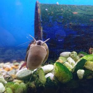 タニシで藻は取れるのか?【第4弾:実はメスとメスだった!?】
