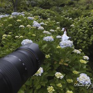 ふぉとれぽ~と - 紫陽花 3回目