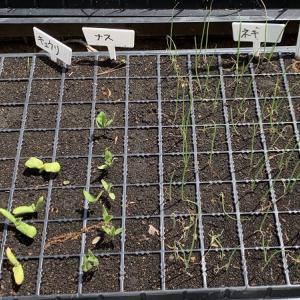【家庭菜園初心者】2021年春夏に育てる野菜達と成長記録