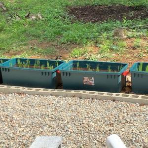 【自宅で米作り#2】素人がRVボックス水田に田植えしてみた