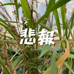 【自宅で米作り#6】RVボックス田んぼ絶望的[素人には難しかった]