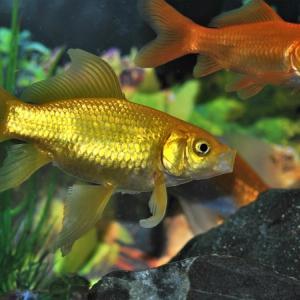 金魚を飼ってみたい!どこで買えるのか?どんな種類が居るの?飼育に必要なモノは何があるのか?
