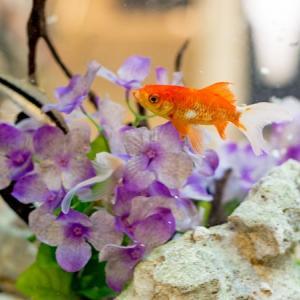 金魚を飼い始めたら病気になった?時の対処法をご紹介、健康かどうかを見分ける方法