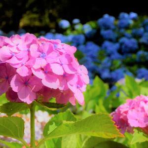 HATTASAN pink hydrangea