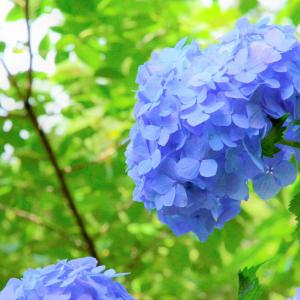 HATTASAN's blue hydrangea
