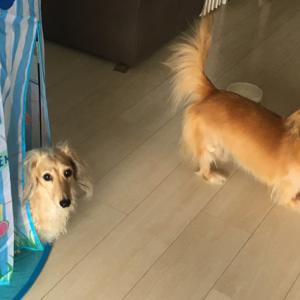 【日記】久しぶりにいがみ合う犬ふたりと、無関心なむすめ