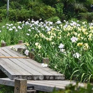 蓮華寺池公園で菖蒲が咲いています