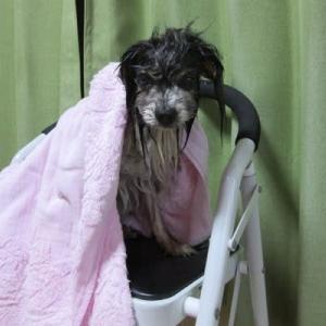 雨の日のシャンプー星犬