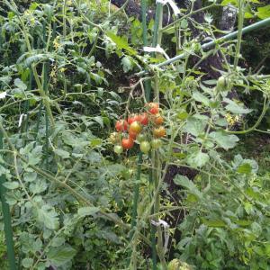 庭のミニトマトとセルトレイの様子