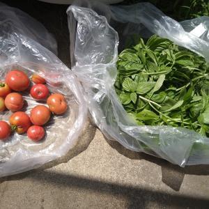収穫したトマトでトマトソース作り