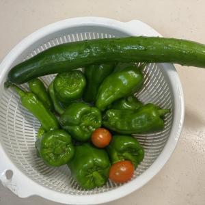 夏野菜の収穫祭り!ピーマンが大量です。