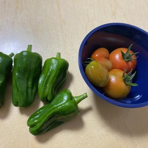 夏野菜の収穫祭り!きゅうり~トマト~ピーマン~青しそ。