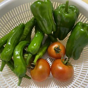 夏野菜、続々収穫!