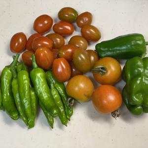 夏野菜の収穫が止まらない!