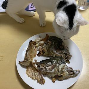 愛猫が美味しそうにシマアジの兜焼きを食べる「との」の思いで。。。
